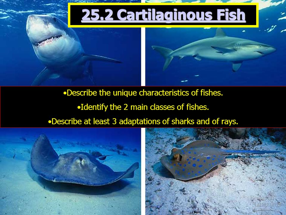 Although rays are closely related to sharks, they have adapted to a very different lifestyle.