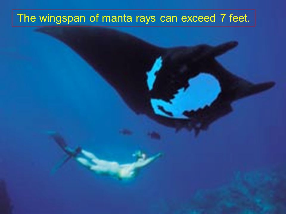 The wingspan of manta rays can exceed 7 feet.