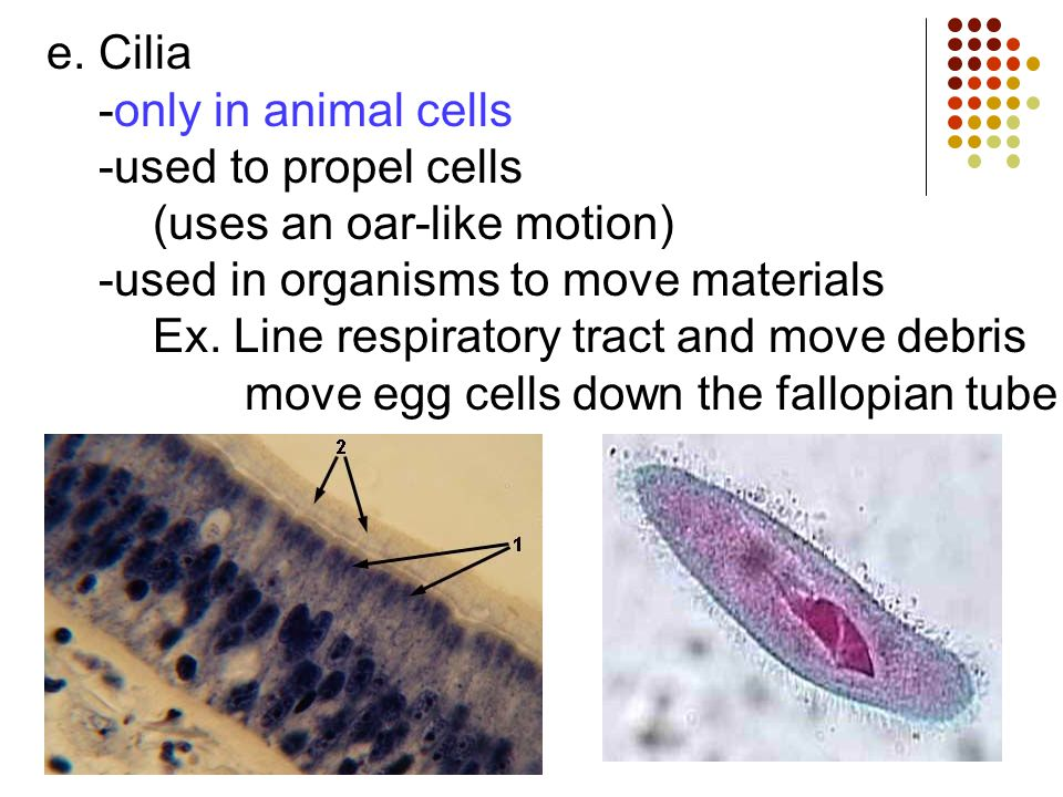 e. Cilia -only in animal cells -used to propel cells (uses an oar-like motion) -used in organisms to move materials Ex. Line respiratory tract and mov