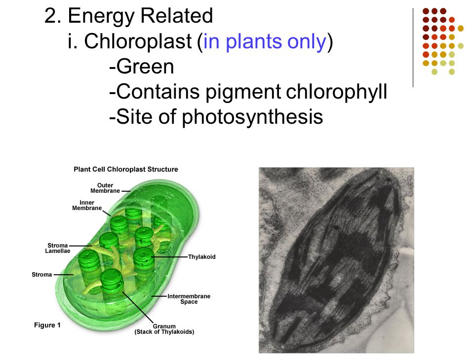 2. Energy Related i. Chloroplast (in plants only) -Green -Contains pigment chlorophyll -Site of photosynthesis