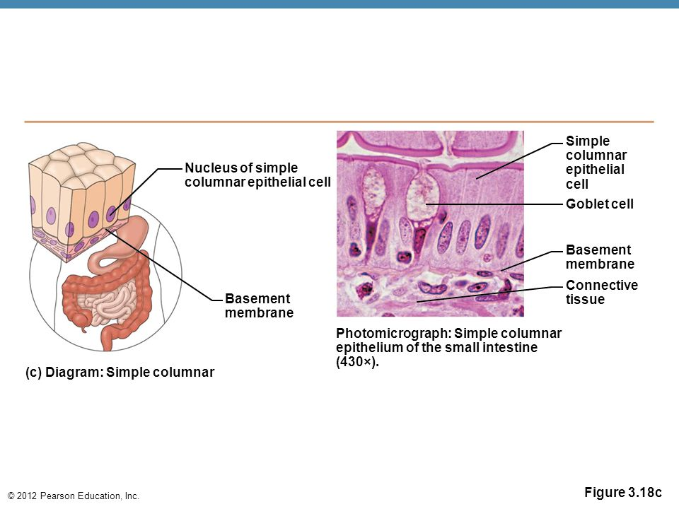 © 2012 Pearson Education, Inc. Figure 3.18c Nucleus of simple columnar epithelial cell Connective tissue Photomicrograph: Simple columnar epithelium o