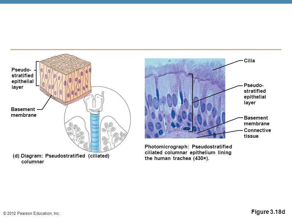 © 2012 Pearson Education, Inc. Figure 3.18d Pseudo- stratified epithelial layer Basement membrane (d) Diagram: Pseudostratified (ciliated) columnar Ph