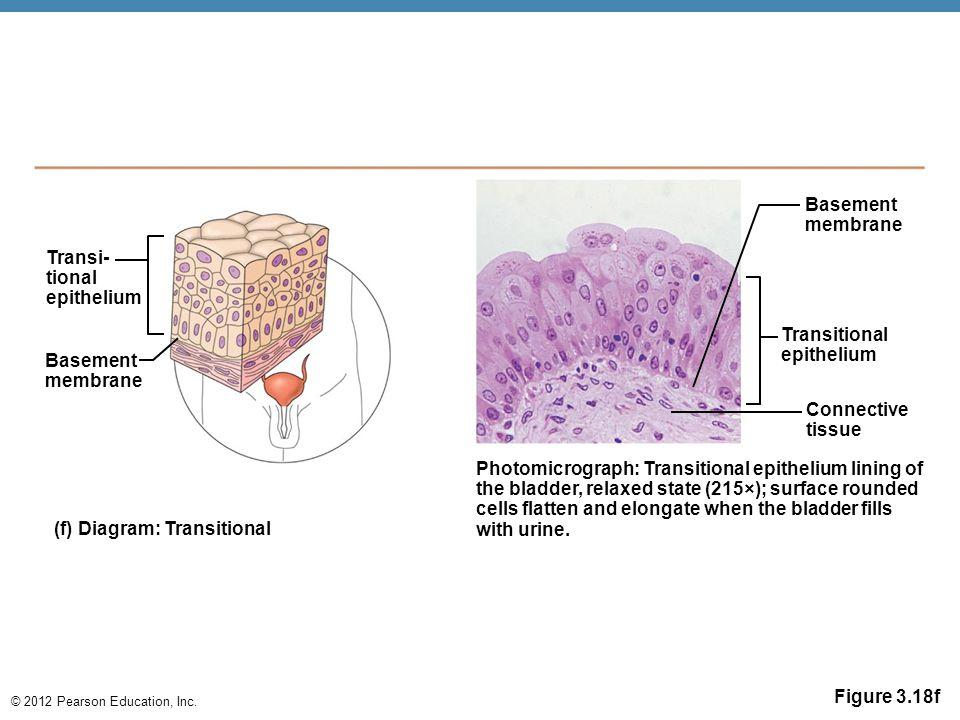 © 2012 Pearson Education, Inc. Figure 3.18f Transi- tional epithelium Basement membrane Photomicrograph: Transitional epithelium lining of the bladder