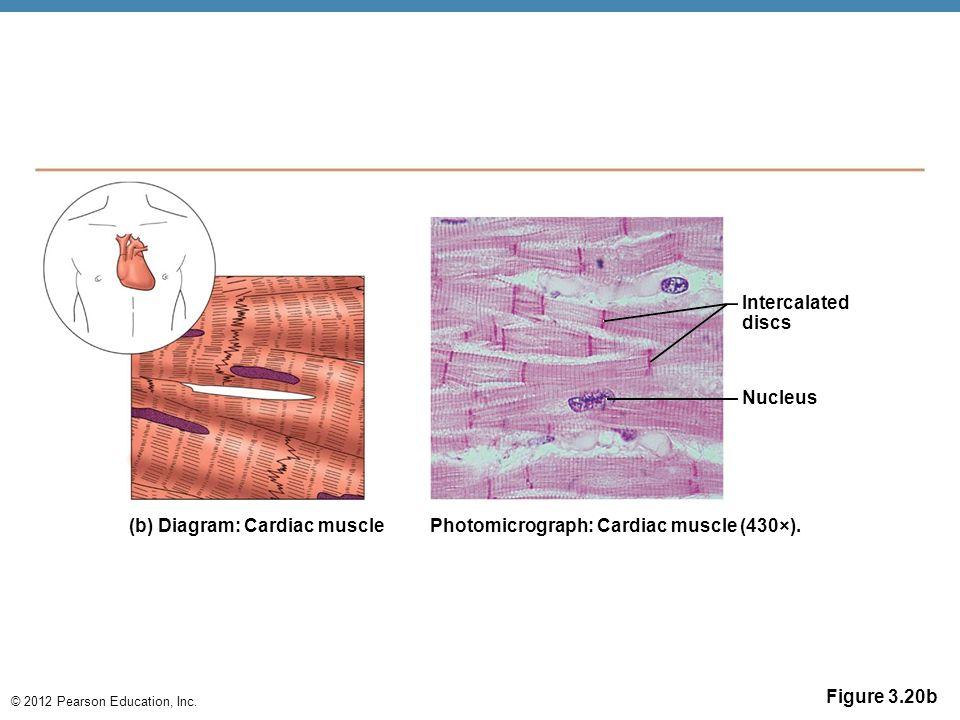 © 2012 Pearson Education, Inc. Figure 3.20b Intercalated discs Nucleus (b) Diagram: Cardiac musclePhotomicrograph: Cardiac muscle (430×).