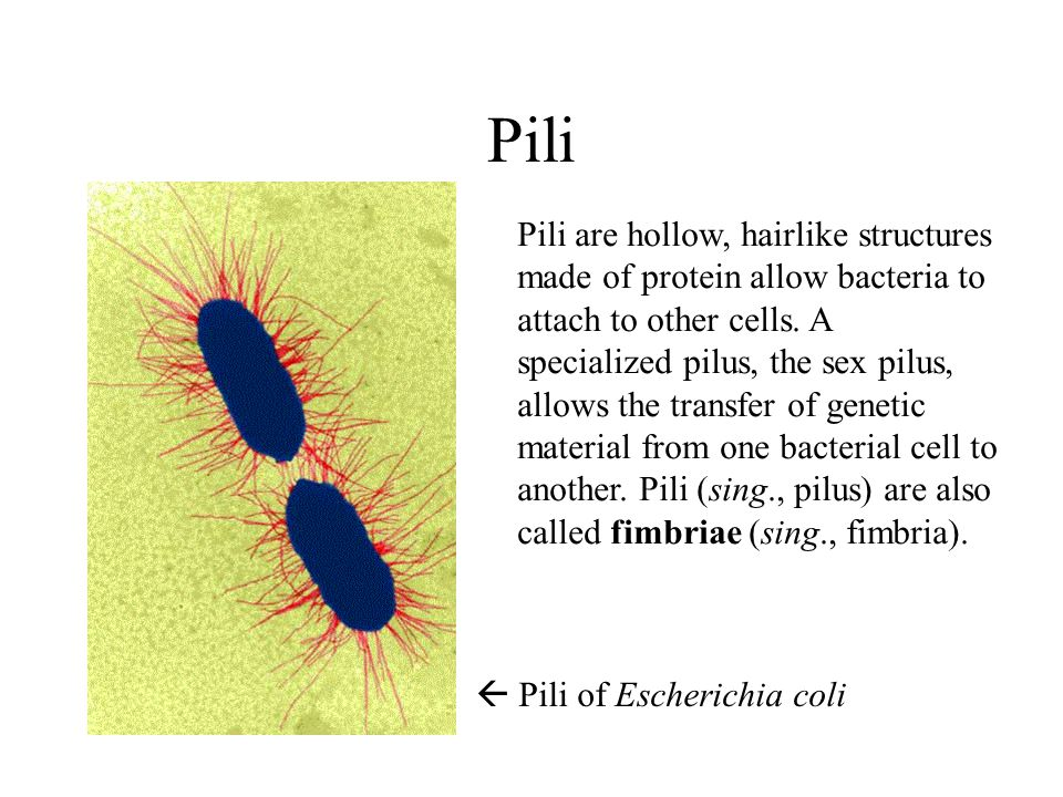 Pili Pili are hollow, hairlike structures made of protein allow bacteria to attach to other cells.