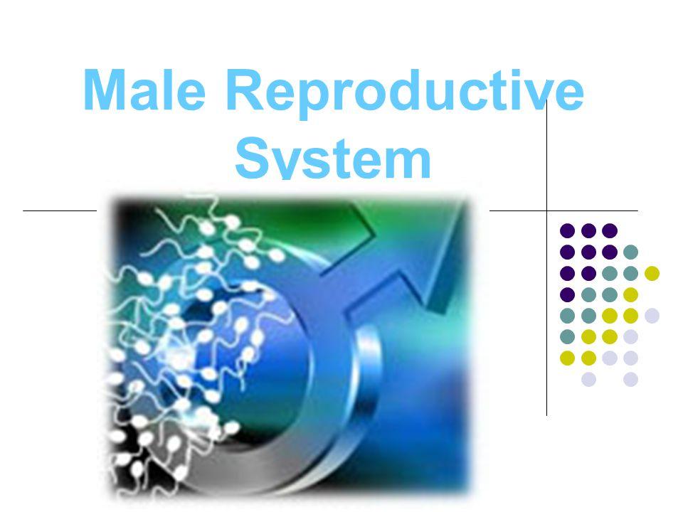 Male Reproductive Organs Penis Scrotum Testes Epididymis Seminiferous tubules Vas deferens Seminal vesicle Prostate gland Cowper's gland Urethra Semen