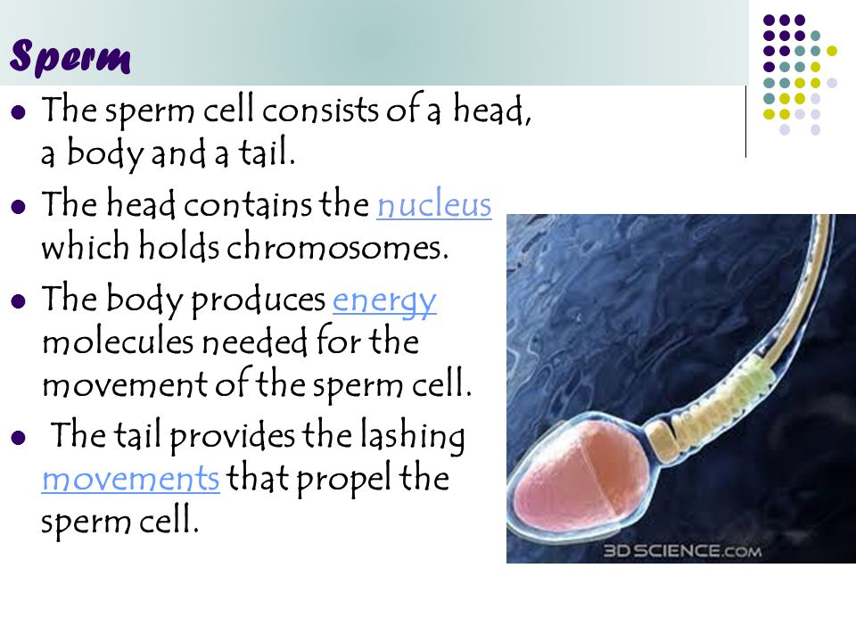 The sperm cell consists of a head, a body and a tail. The head contains the nucleus which holds chromosomes.nucleus The body produces energy molecules