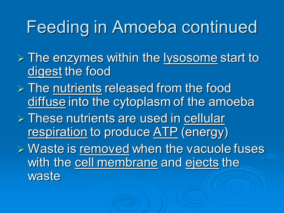 Feeding in Amoeba continued  The enzymes within the lysosome start to digest the food  The nutrients released from the food diffuse into the cytopla