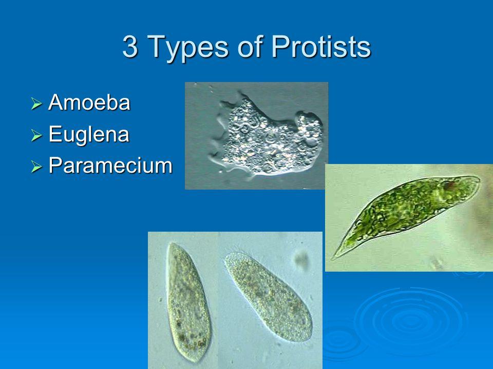 3 Types of Protists  Amoeba  Euglena  Paramecium