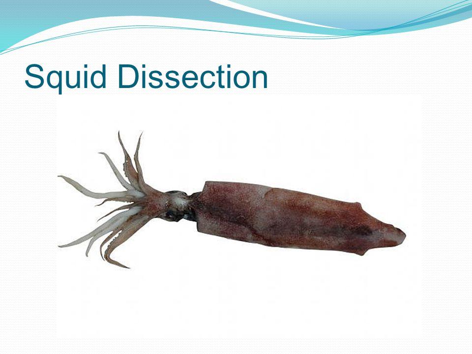 Taxonomy of the Squid Kingdom: Animalia Phylum: Mollusca Class: Cephalopoda Order: Teuthida Family: Loliginidae Genus: Loligo Species: brevipenna