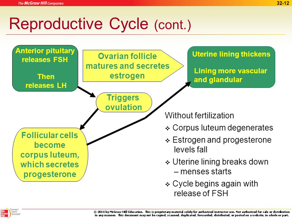 32-11 Reproductive Cycle Menstrual cycle –Regular changes in uterine lining –Shedding of lining and bleeding Menarche – first menstrual period Menopau