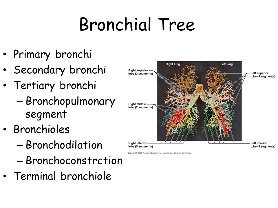 Bronchial Tree Primary bronchi Secondary bronchi Tertiary bronchi – Bronchopulmonary segment Bronchioles – Bronchodilation – Bronchoconstrction Termin