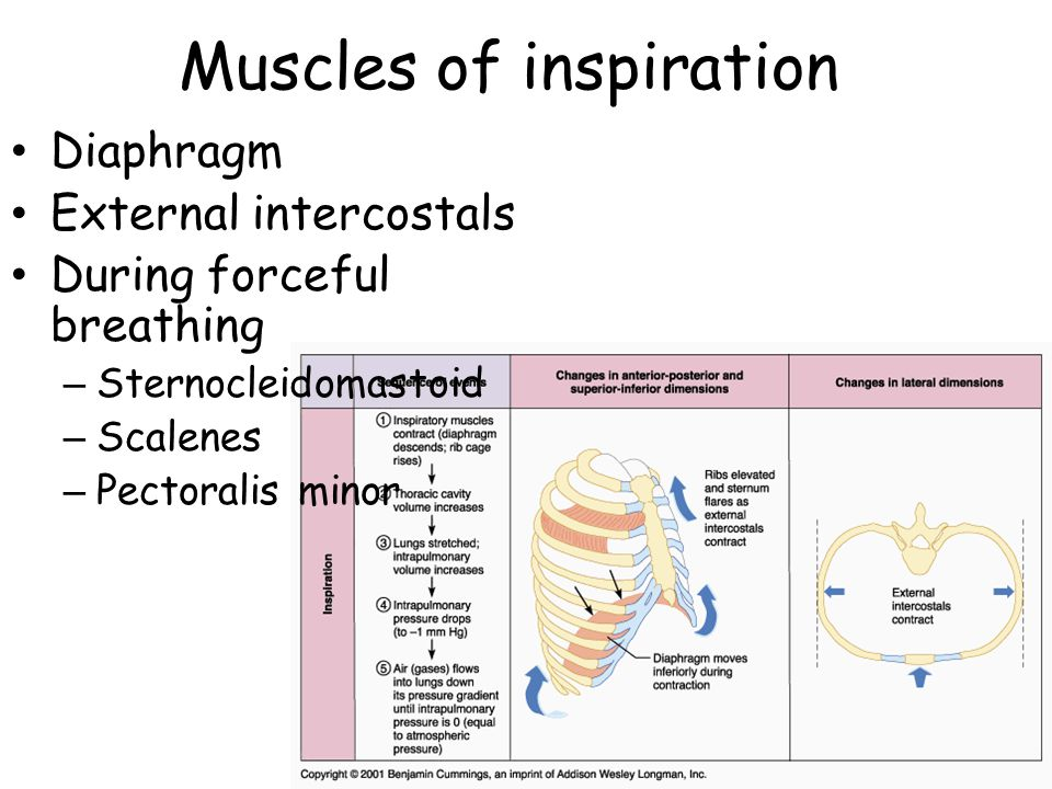 Muscles of inspiration Diaphragm External intercostals During forceful breathing – Sternocleidomastoid – Scalenes – Pectoralis minor