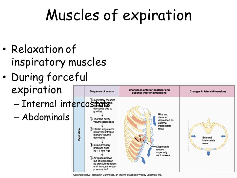 Muscles of expiration Relaxation of inspiratory muscles During forceful expiration – Internal intercostals – Abdominals