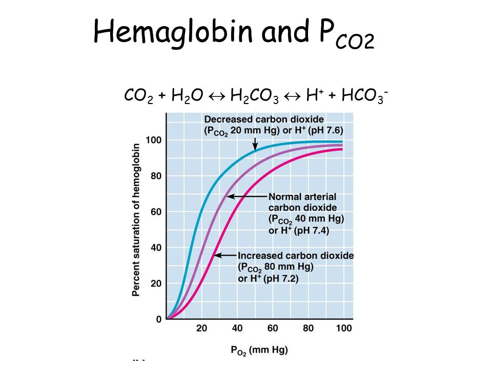 Hemaglobin and P CO2 CO 2 + H 2 O  H 2 CO 3  H + + HCO 3 -