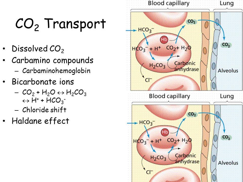 CO 2 Transport Dissolved CO 2 Carbamino compounds – Carbaminohemoglobin Bicarbonate ions – CO 2 + H 2 O  H 2 CO 3  H + + HCO 3 - – Chloride shift Haldane effect