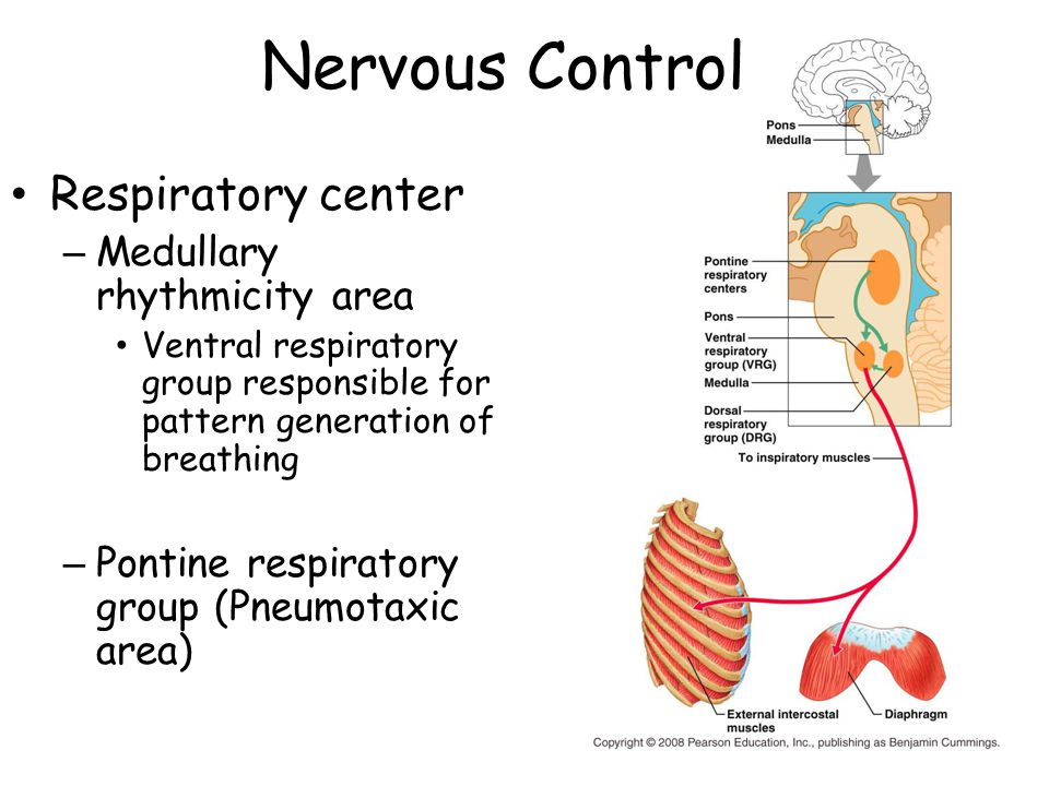 Nervous Control Respiratory center – Medullary rhythmicity area Ventral respiratory group responsible for pattern generation of breathing – Pontine respiratory group (Pneumotaxic area)