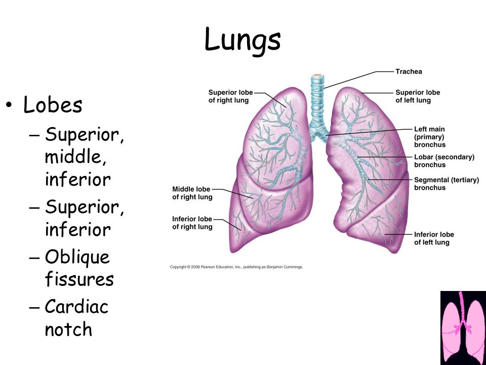 Lobes – Superior, middle, inferior – Superior, inferior – Oblique fissures – Cardiac notch