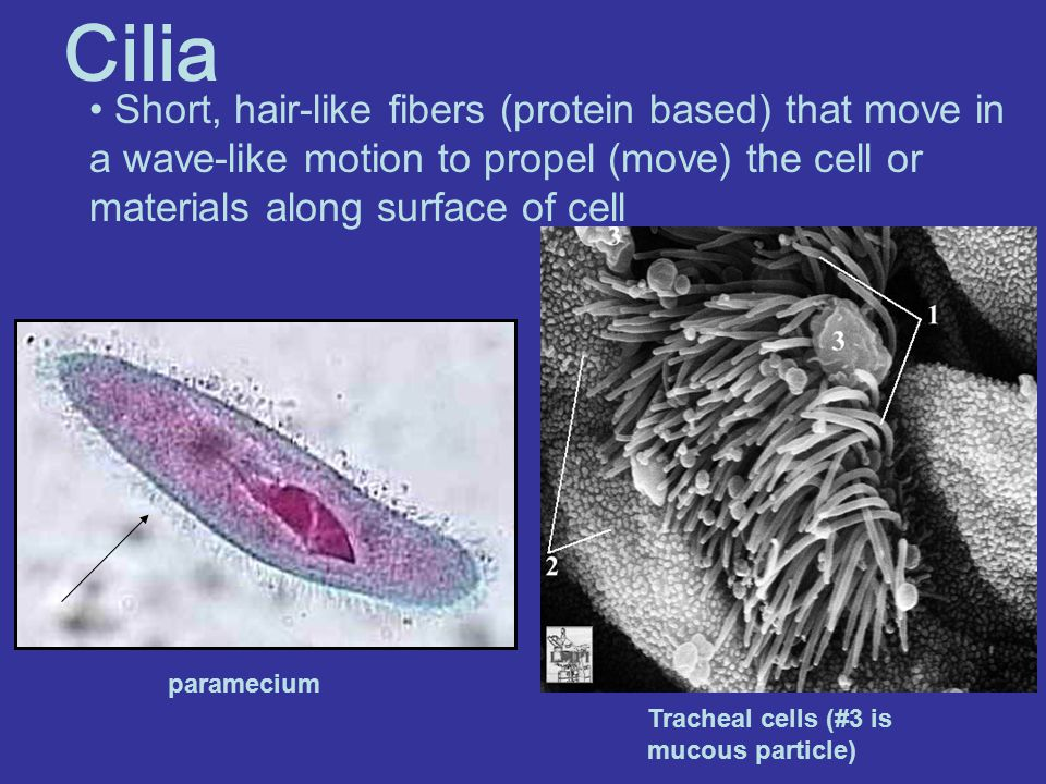 Cilia Short, hair-like fibers (protein based) that move in a wave-like motion to propel (move) the cell or materials along surface of cell paramecium Tracheal cells (#3 is mucous particle)