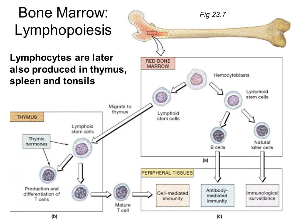 Bone Marrow: Lymphopoiesis Lymphocytes are later also produced in thymus, spleen and tonsils Fig 23.7