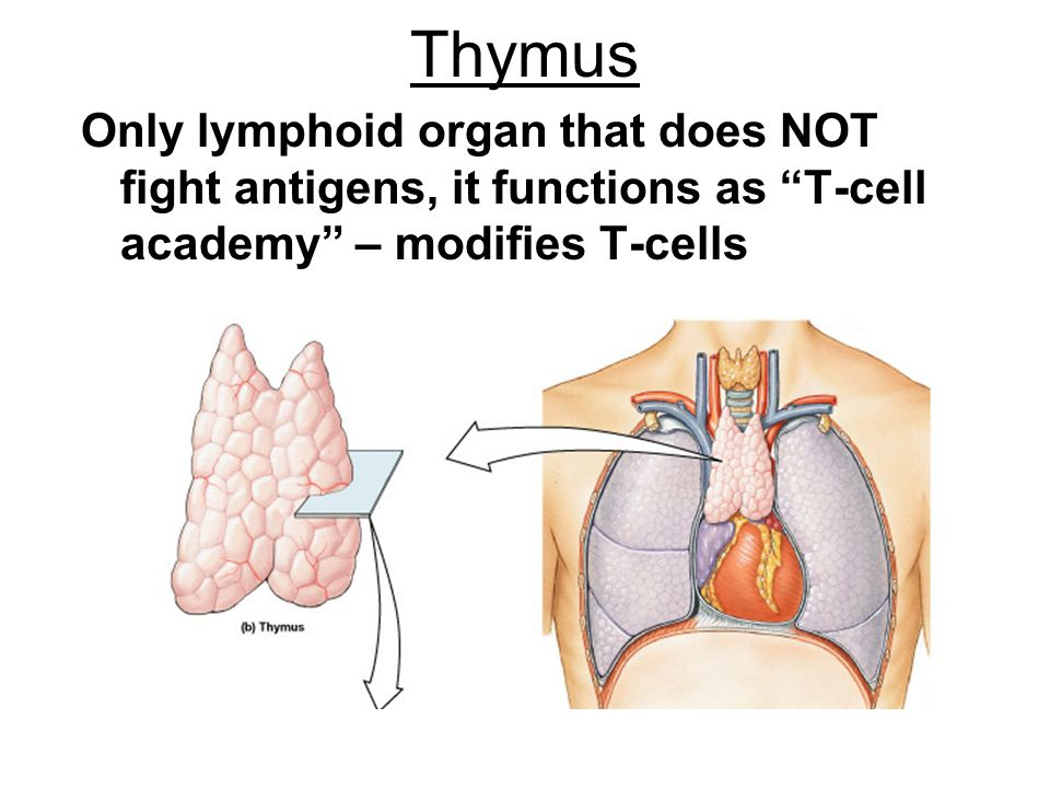 "Thymus Only lymphoid organ that does NOT fight antigens, it functions as ""T-cell academy"" – modifies T-cells"