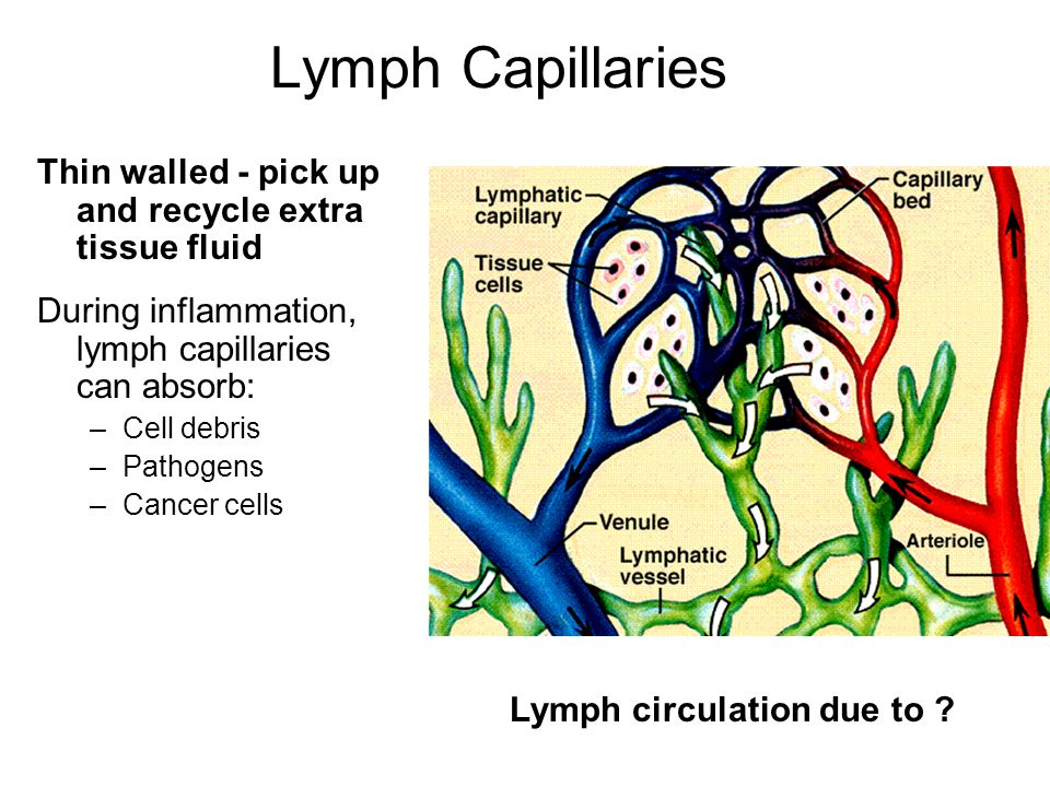 Lymph Capillaries Thin walled - pick up and recycle extra tissue fluid During inflammation, lymph capillaries can absorb: –Cell debris –Pathogens –Can
