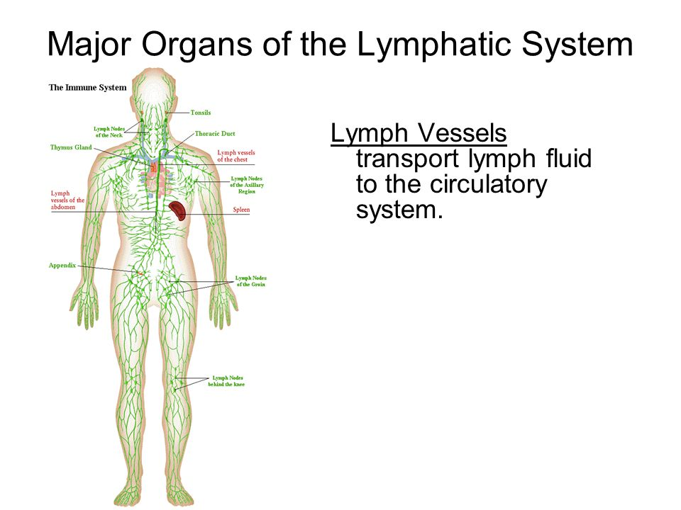 Major Organs of the Lymphatic System Lymph Vessels transport lymph fluid to the circulatory system.