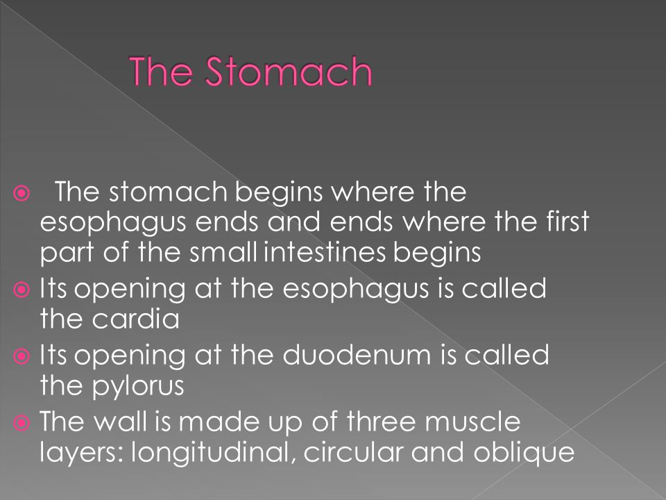  The stomach begins where the esophagus ends and ends where the first part of the small intestines begins  Its opening at the esophagus is called the cardia  Its opening at the duodenum is called the pylorus  The wall is made up of three muscle layers: longitudinal, circular and oblique