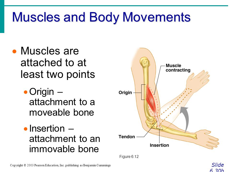 Muscles and Body Movements Slide 6.30b Copyright © 2003 Pearson Education, Inc.