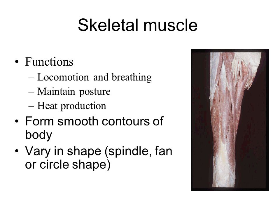 Skeletal muscle Functions –Locomotion and breathing –Maintain posture –Heat production Form smooth contours of body Vary in shape (spindle, fan or cir