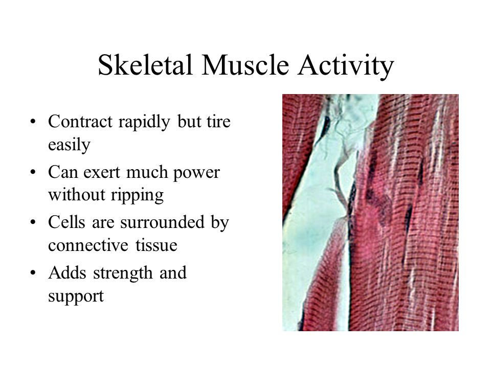 Skeletal Muscle Activity Contract rapidly but tire easily Can exert much power without ripping Cells are surrounded by connective tissue Adds strength and support