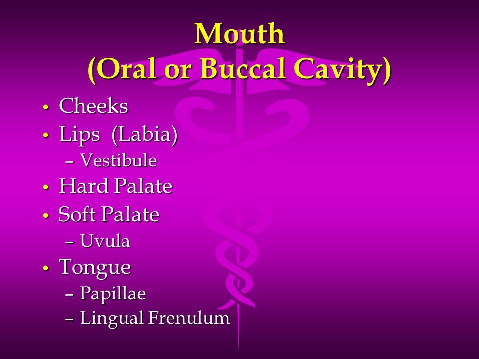 Mouth (Oral or Buccal Cavity) Cheeks Cheeks Lips (Labia) Lips (Labia) –Vestibule Hard Palate Hard Palate Soft Palate Soft Palate –Uvula Tongue Tongue –Papillae –Lingual Frenulum