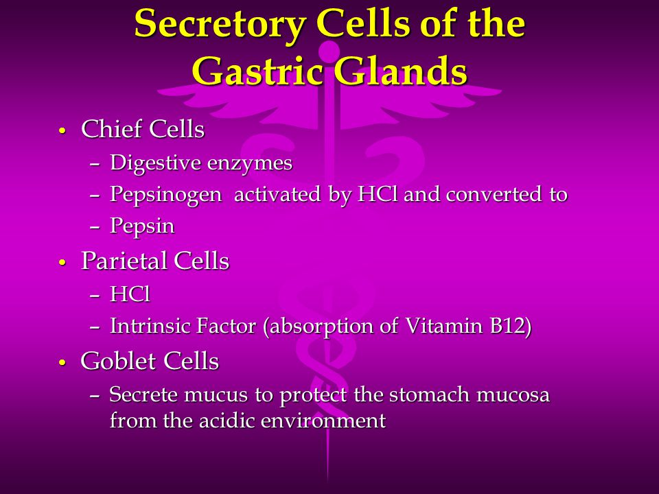 Secretory Cells of the Gastric Glands Chief Cells Chief Cells –Digestive enzymes –Pepsinogen activated by HCl and converted to –Pepsin Parietal Cells