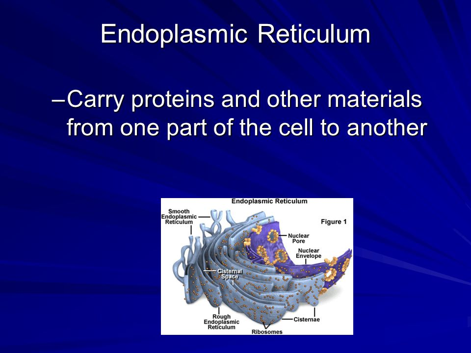 Endoplasmic Reticulum –Carry proteins and other materials from one part of the cell to another