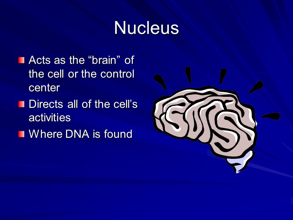 "Nucleus Acts as the ""brain"" of the cell or the control center Directs all of the cell's activities Where DNA is found"