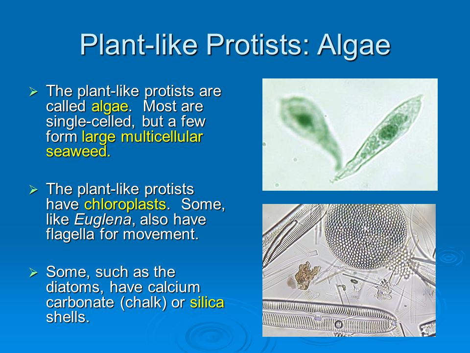 Plant-like Protists: Algae  The plant-like protists are called algae. Most are single-celled, but a few form large multicellular seaweed.  The plant