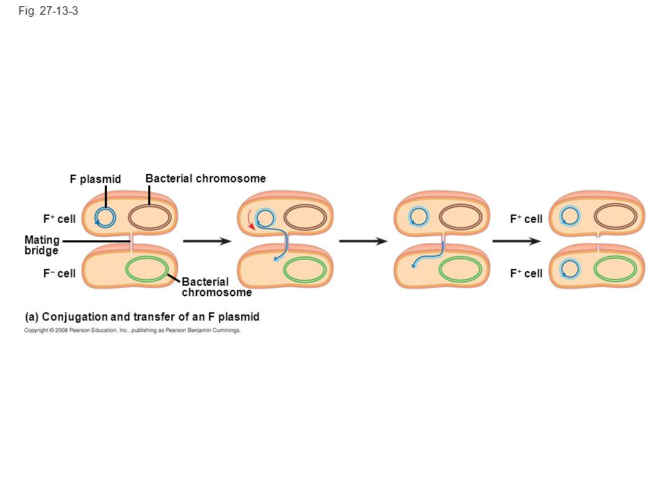 Fig. 27-13-3 F plasmid F + cell F – cell Mating bridge Bacterial chromosome Bacterial chromosome (a) Conjugation and transfer of an F plasmid F + cell