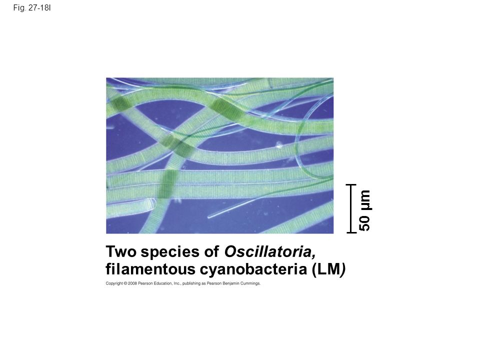 Fig. 27-18l 50 µm Two species of Oscillatoria, filamentous cyanobacteria (LM)