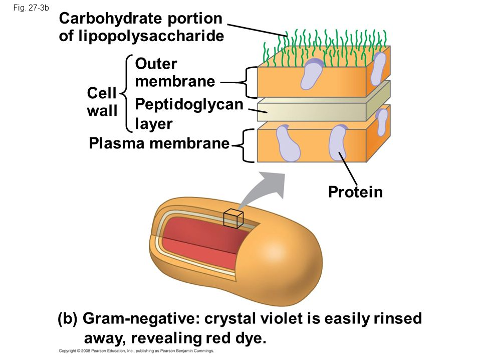 Fig. 27-3b Cell wall Peptidoglycan layer Plasma membrane Protein (b) Gram-negative: crystal violet is easily rinsed away, revealing red dye. Outer mem