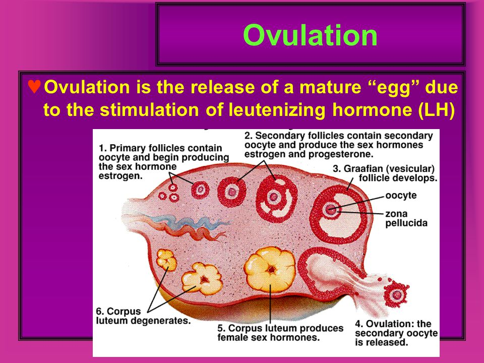 """Ovulation Ovulation is the release of a mature """"egg"""" due to the stimulation of leutenizing hormone (LH)"""