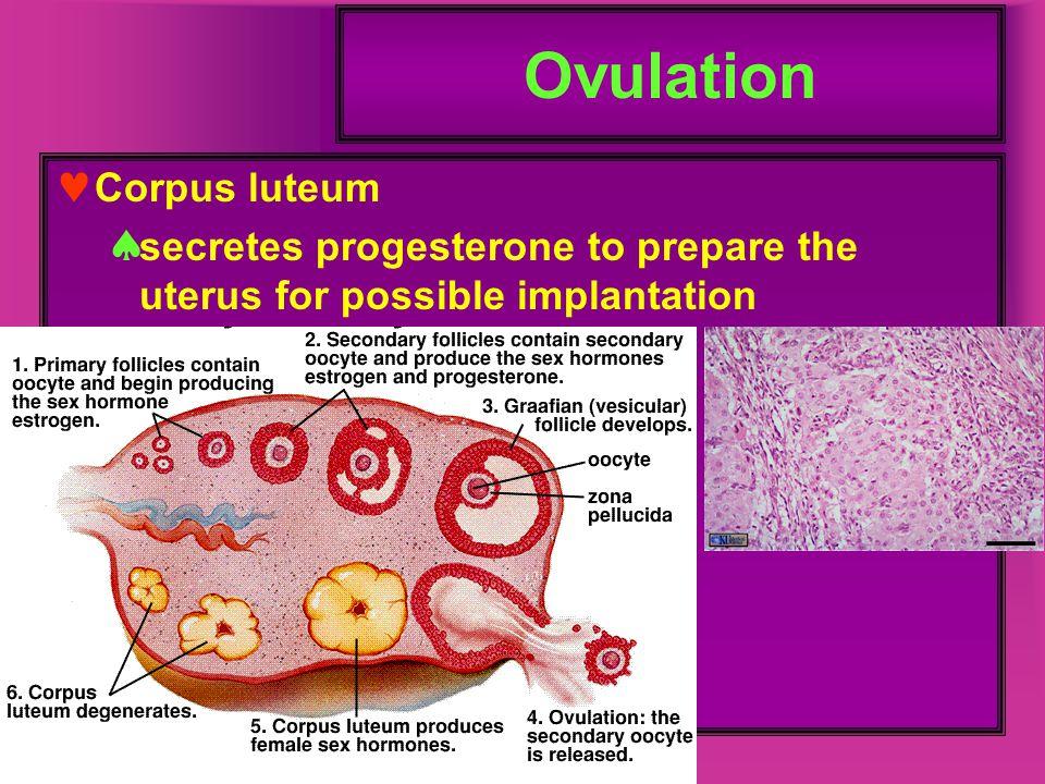 Ovulation Corpus luteum  secretes progesterone to prepare the uterus for possible implantation