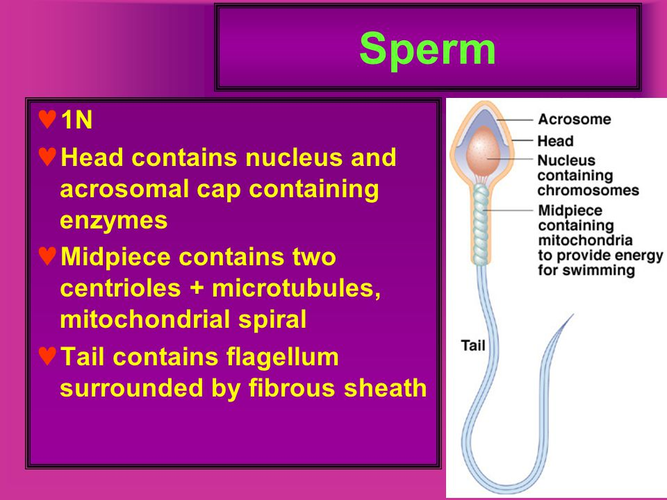Sperm 1N Head contains nucleus and acrosomal cap containing enzymes Midpiece contains two centrioles + microtubules, mitochondrial spiral Tail contain