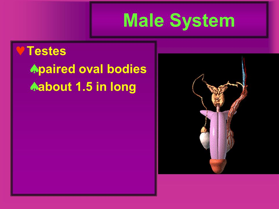 Female Sexual Development When fetal gonads differentiate into ovaries the oogonia are formed  these are not true eggs, yet, and will never complete meiosis and become such unless/until first fertilized by a sperm