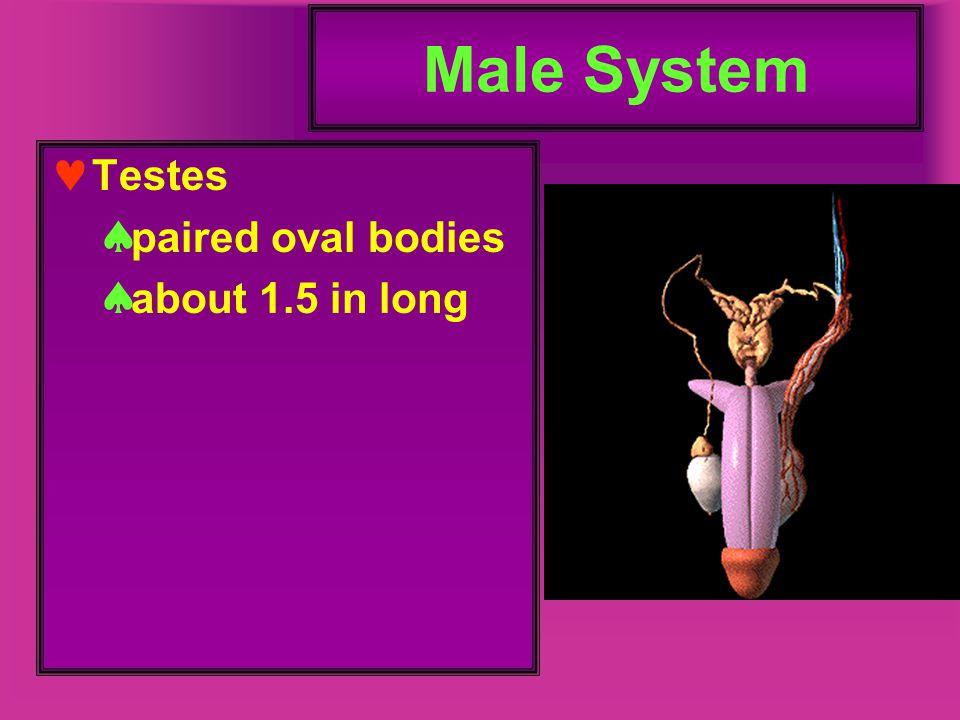 Prostate Gland large gland surrounds prostatic urethra and ejaculatory ducts Secretes thin white slightly acidic fluid about 25% of semen