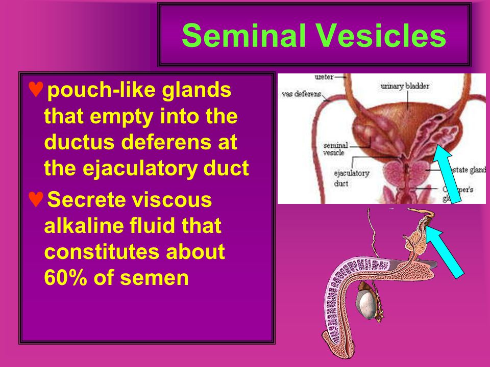 Seminal Vesicles pouch-like glands that empty into the ductus deferens at the ejaculatory duct Secrete viscous alkaline fluid that constitutes about 6