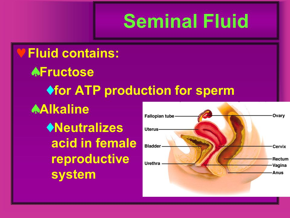 Seminal Fluid Fluid contains:  Fructose  for ATP production for sperm  Alkaline  Neutralizes acid in female reproductive system