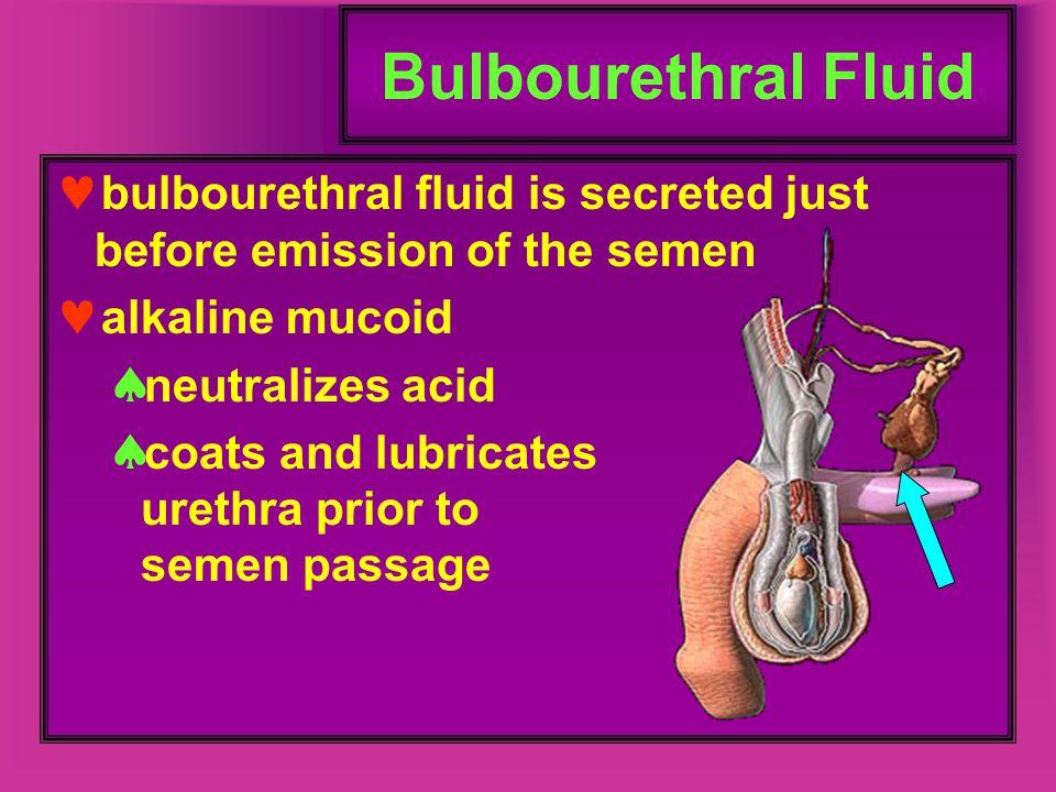 Bulbourethral Fluid bulbourethral fluid is secreted just before emission of the semen alkaline mucoid  neutralizes acid  coats and lubricates urethr