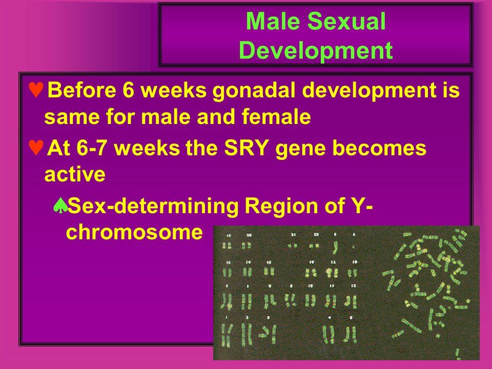 Male Sexual Development Before 6 weeks gonadal development is same for male and female At 6-7 weeks the SRY gene becomes active  Sex-determining Regi