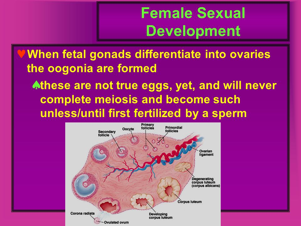 Female Sexual Development When fetal gonads differentiate into ovaries the oogonia are formed  these are not true eggs, yet, and will never complete