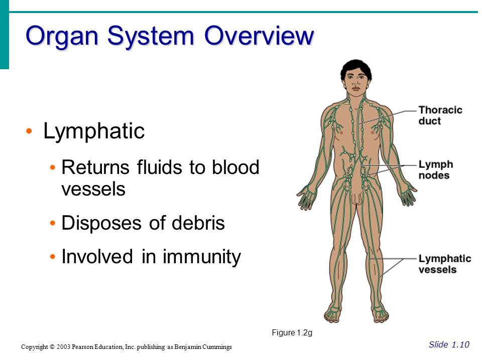 Organ System Overview Slide 1.10 Copyright © 2003 Pearson Education, Inc. publishing as Benjamin Cummings Lymphatic Returns fluids to blood vessels Di